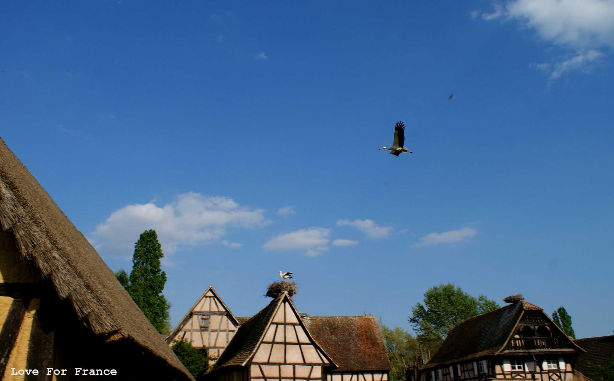 bociany w Alzacji