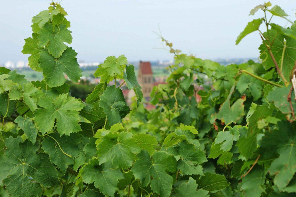 Alzacja winnice