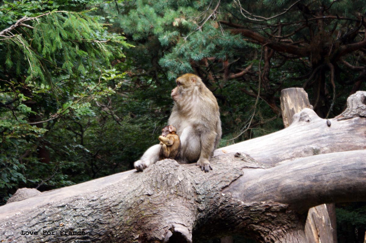 montagne des singes alzacja alsace