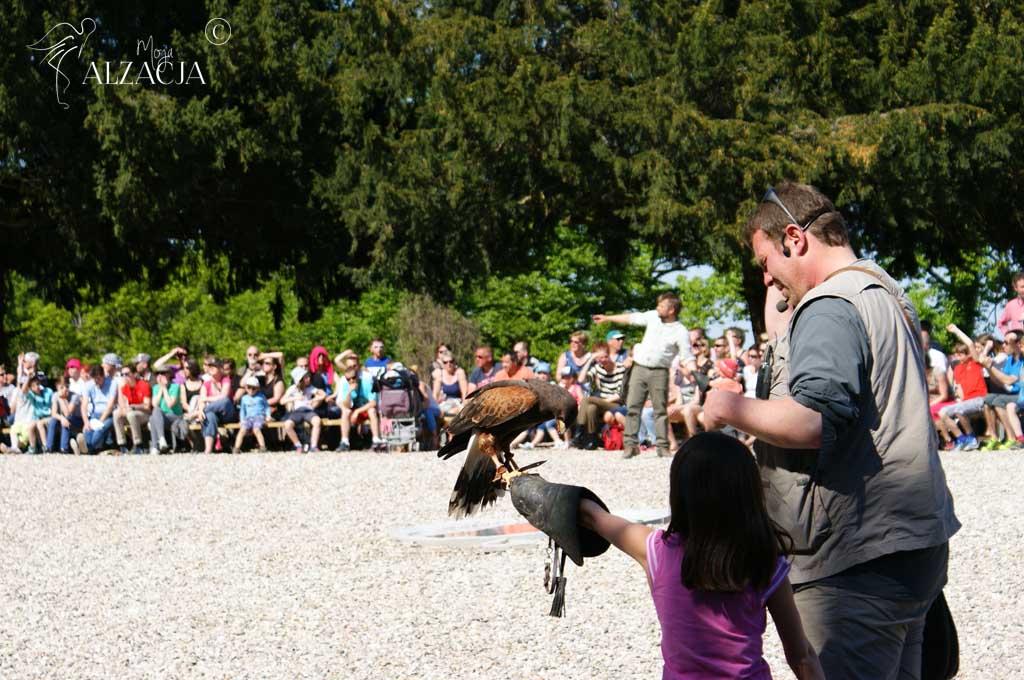 Volerie des Aigles, Alzacja