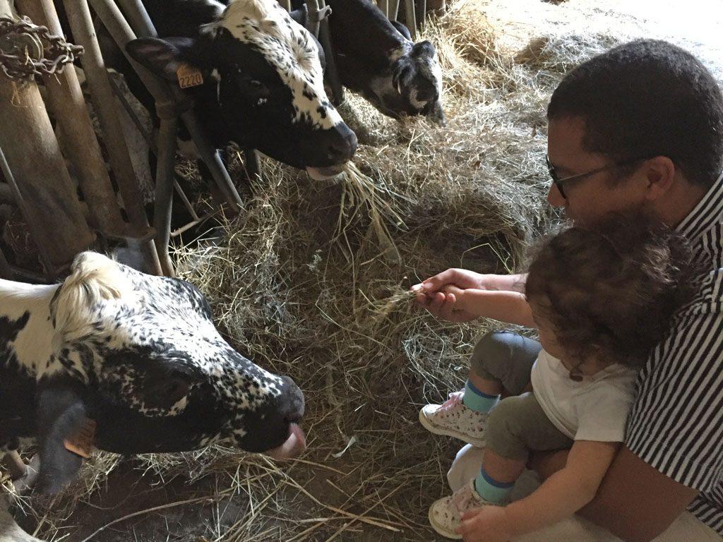 hodowla krów w Alzacji